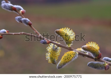 Fresh buds on a willow branch  - stock photo