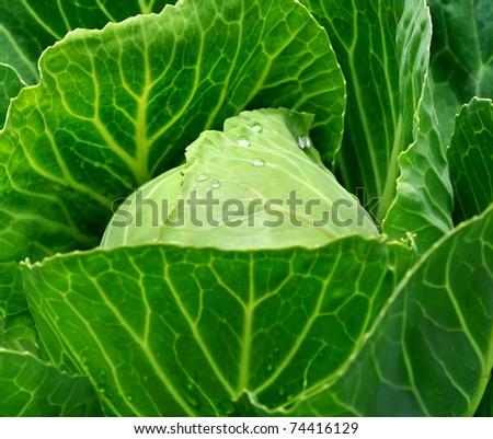 fresh  cabbage - stock photo