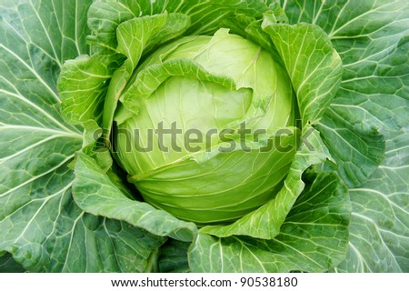 fresh cabbage from top view