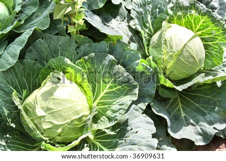 Fresh cabbage heads in a garden,  ready for harvest - stock photo