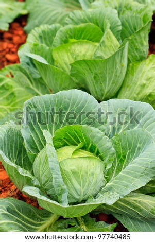Fresh cabbages - stock photo