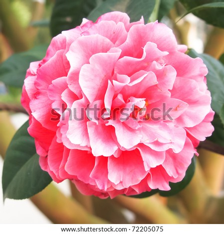fresh camellia - stock photo