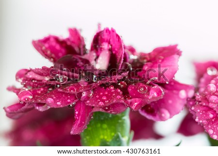 Fresh carnation with drops on the petals, macro - stock photo