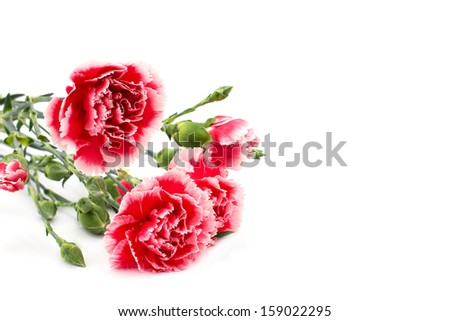 Fresh carnations isolated on white background. - stock photo