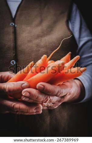 fresh carrots in hands  - stock photo