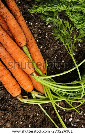 Fresh carrots with leaves - stock photo