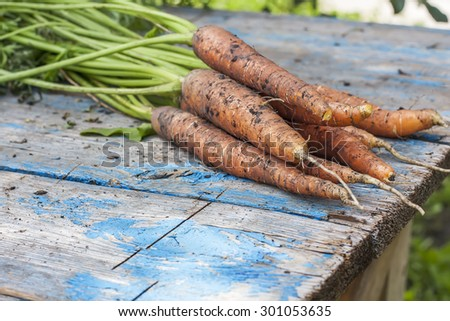 Fresh carrots with soil,  with tops on old wooden table, selective focus.  Natural day light.
