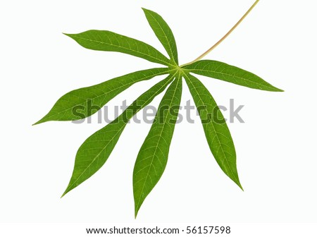 fresh cassava leaf on white insulated background