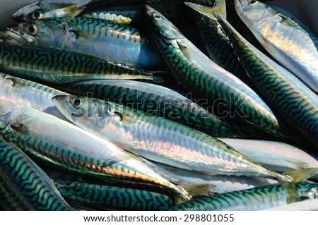 Fresh catch of mackerel fish. Close up. - stock photo