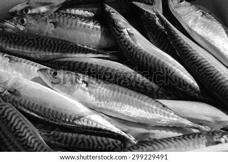 Fresh catch of mackerel fish. Close up. A game of light and shadow. Aged photo. Black and white. - stock photo