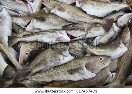 Fresh caught Cod Fish in Iceland - stock photo