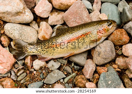 Fresh caught Rainbow Trout lies on the shore among the stones. (Oncorhynchus mykiss) - stock photo