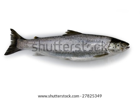 Fresh caught Sea Trout body on a white background - isolated - stock photo