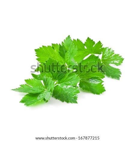 Fresh celery leaf isolated on white background  - stock photo
