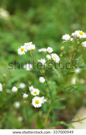 Fresh chamomile flowers over green grass background - stock photo