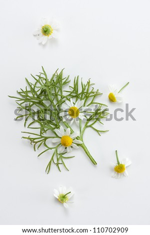 Fresh chamomile leaves and flowers - stock photo