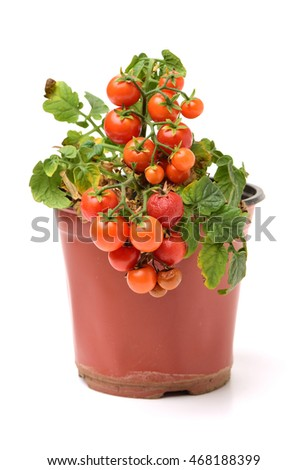 Fresh cherry tomato plant in a jar on white background