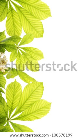 Fresh chestnut leafs isolated on white background - stock photo