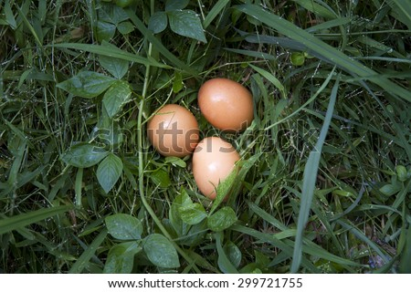 fresh Chicken eggs in the grass close up - stock photo
