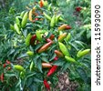 Fresh chili peppers on the branch - stock photo