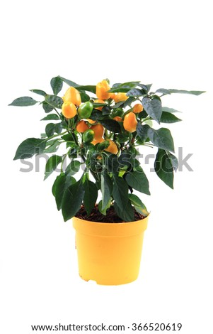 fresh chilli plant isolated on the white background - stock photo