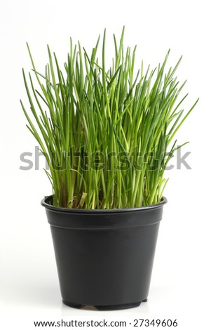 Fresh chive on bright background