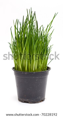 fresh chives with drops - stock photo