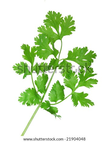 fresh cilantro coriander branch isolated on white