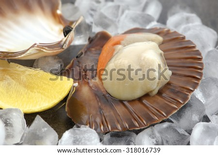 Fresh cleaned scallop on shell with ice and lemon