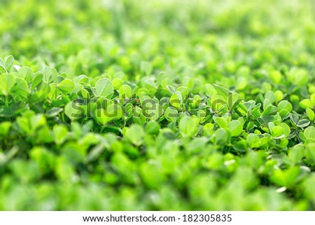 Fresh clover in early spring - stock photo
