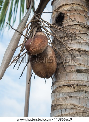 fresh coconut on Coconut tree on the sky bright atmosphere Coconut cluster on coconut tree. - stock photo