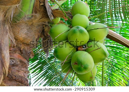 fresh coconut on tree - stock photo