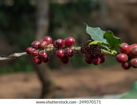 Fresh Coffee Bean Before Roast - stock photo
