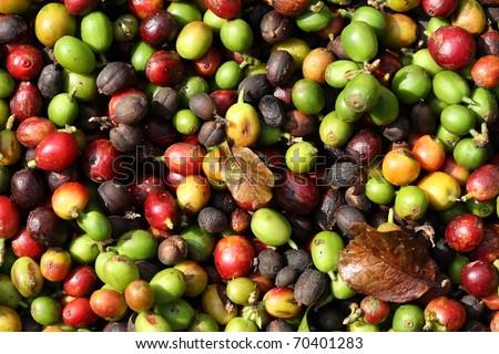 fresh coffee beans before roast. - stock photo