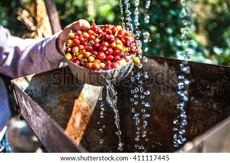 fresh coffee beans washing wet process - stock photo