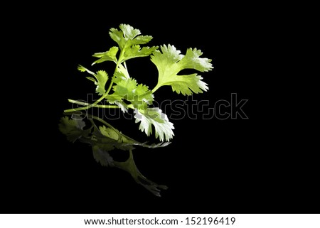 Fresh coriander leaves isolated on black background. Aromatic culinary cooking herbs. Coriander, asian parsley. - stock photo