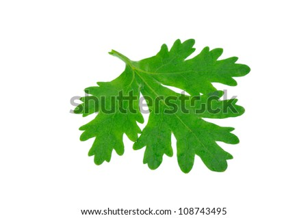Fresh coriander or cilantro leaves isolated on white background
