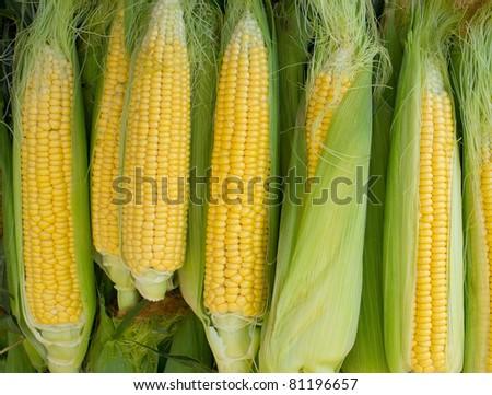 Fresh corn cob between green leaves. - stock photo