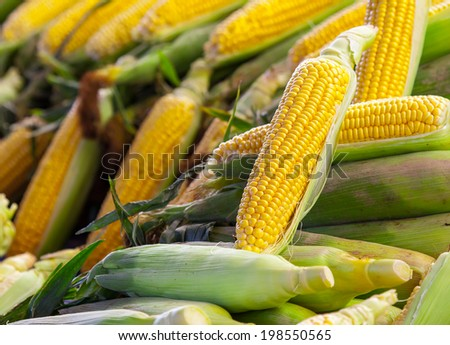 Fresh corn cobs  - stock photo