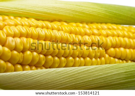 Fresh corn cobs close up on a white background