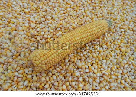 Fresh corn on seeds background