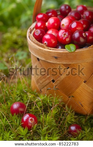 Fresh cranberries in a basket on the moss