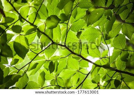 Fresh crisp green oval hornbeam tree leaves backlit  - stock photo