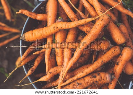 fresh crop of organic carrot on the ground - stock photo