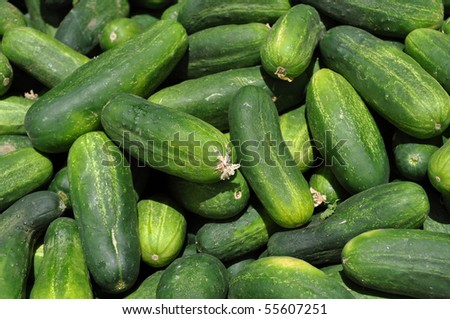 Fresh Cucumbers ready to be made into Pickles