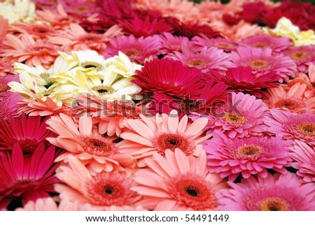 Fresh cut gerbera daises, garden and flower exhibition - stock photo