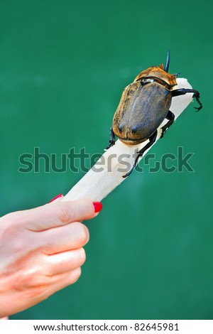 Fresh cut sugar cane is being consumed by a rhinoceros beetle.  Woman's hand holds cane and shows size comparison of the giant insect. - stock photo