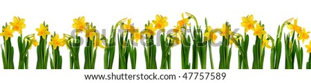 Fresh daffodils isolated on white background. - stock photo