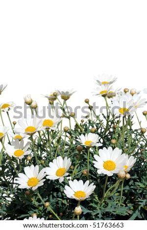 Fresh Daisies isolated on white background - Argyranthemum Daisy - stock photo