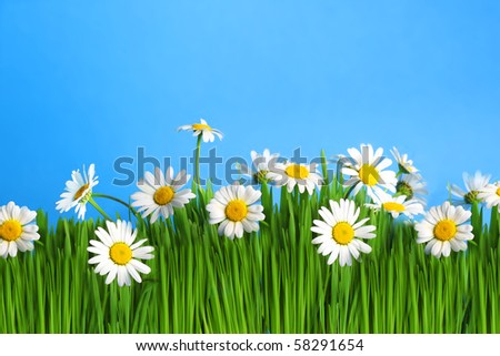 Fresh daisies on blue background. Summer flower - stock photo